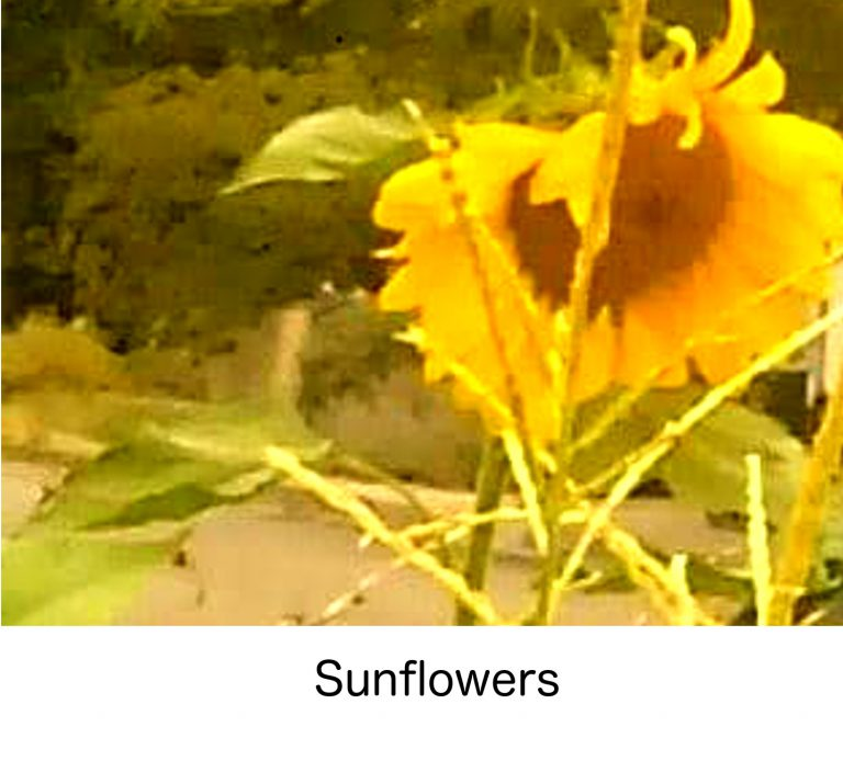 selectyourlandscaping-sunflower-with-caption